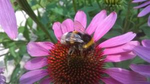 006.Hommels en bijen zorgen voor bestuiving