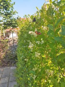 008.Een bloeiende Ligusterhaag trekt vlinders aan
